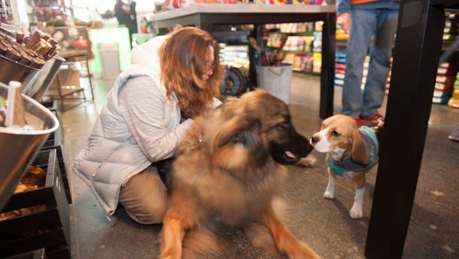 Wilbee Daniels, a 150-pound leonberger breed, meets a new friend, a beagle named Grace, while hanging out at City Bark's grand opening in downtown Detroit along with Wilbee's owner Victoria DeMay of Farmington. It's a great time to be a dog in downtown Detroit. Pet shops, vet services and activities are catering to dogs and owners who live downtown.