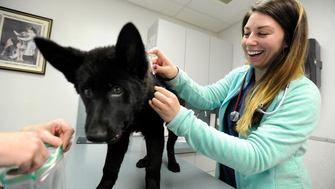 Mercy, a 14-week-old German shepherd puppy, gets a rabies shot from Dr. Kelcie Theis on Friday at Ridgemont Animal Clinic.