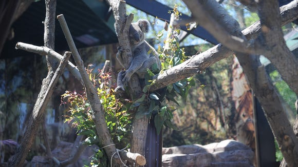 Burra, a 3-year-old Koala, is one of two koalas staying