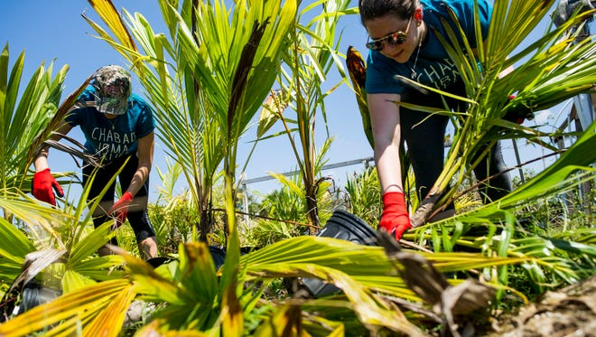 Erica Turner, left, and Alyssa Harrell, both of Tampa, were sent to the Naples Botanical Gardens to help on Sunday, Sept. 17, 2017.
