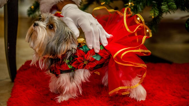 The man with the snowy white beard took a little getting used to for this dolled-up cutie canine.