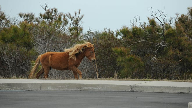 One of the horses plays on Assateague Island National Seashore in Worcester County, Md. on Tuesday, April 24, 2018.