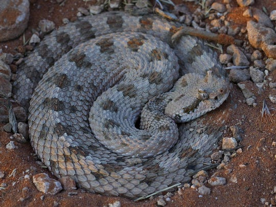 Reptiles, like this Great Basin rattlesnake are more active as weather warms. Crotalus cerastes cerastes, Mojave Desert, Mojave Desert Sidewinder, Red Cliffs Desert Reserve, St. George UT