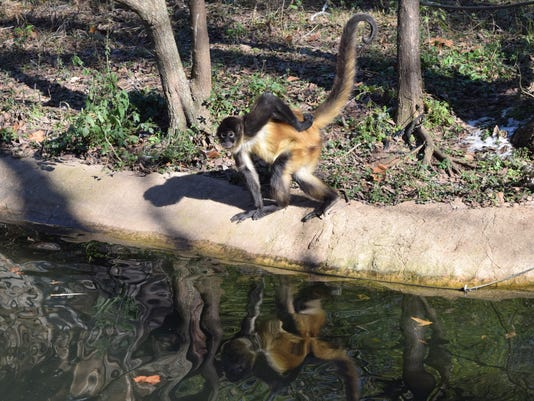 One of the spider monkeys at the Alexandria Zoo didn't seem to mind the colder than average temperatures that Central Louisiana experienced over the weekend.