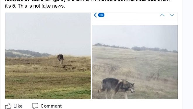 John Wilson of Redding posted on Facebook that wolves have been feeding on cattle in the Millville Plains area east of Redding.