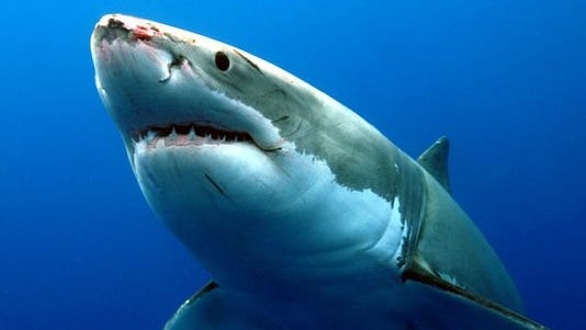 Great white shark, Carcharodon Carcharias, eyeing prey item on surface Guadalupe Island, Mexico, Pacific Ocean.
