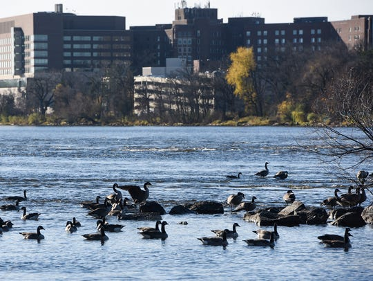 Canada geese rest on the Mississippi River Tuesday,
