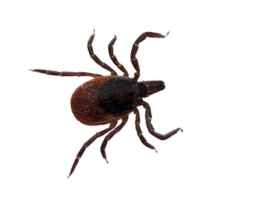 Over the past 30 years, black-legged deer ticks have