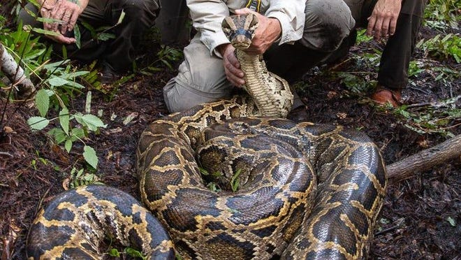 A Burmese python measuring 17 feet, 3 inches and weighing 152 pounds was the largest female captured by the Big Cypress National Preserve Scout Snack Program during the 2019-2020 breeding season.