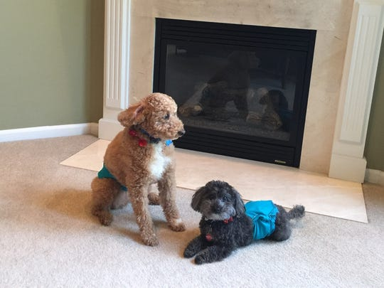 Shadow, left, and Stanley in an undated photo before Stanley was snatched by a coyote outside his Northville Township home this year.