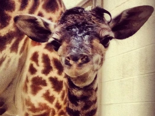 Happy Birthday! A new giraffe was born at the Cincinnati Zoo on Monday morning