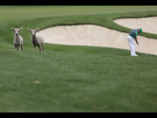 Two young bighorns graze away from the herd at the SilverRock Resort in La Quinta on Friday, April 4, 2014.