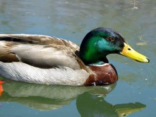 636214689202641072-duck.jpg