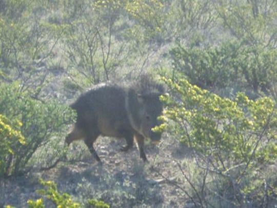 A javelina is captured moving through brush at Carlsbad