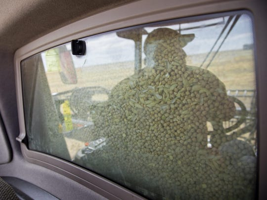 Orrie Gondiero drives a combine with a bin full of chickpeas during the chickpea harvest west of Dutton in Aug. 2015.