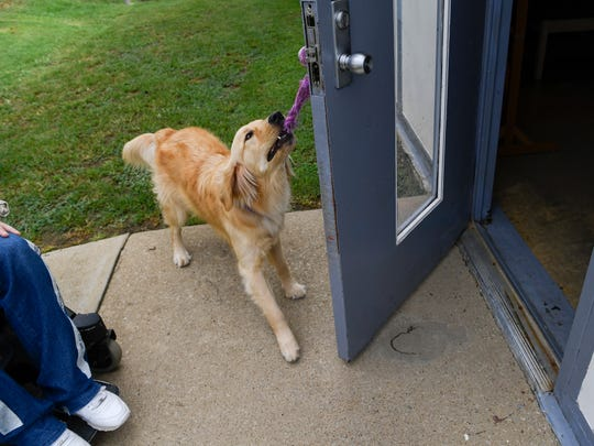 Golden retriever Mack executes a cue to open a door for someone in a wheelchair as part of his service-animal training at the Turney Center Industrial Complex in Only , Tenn., Friday, July 28, 2017.