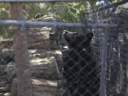 A black bear is hunkered down in the yard of a home