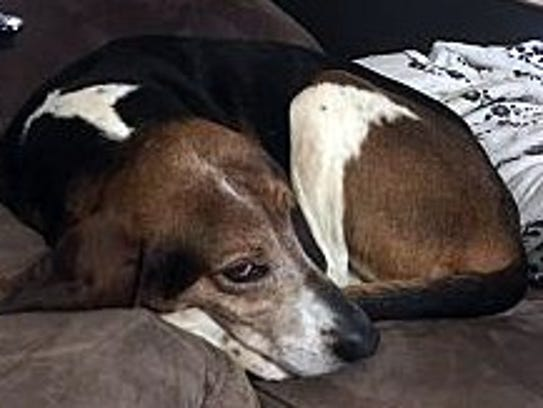 Cookie is an adult, spayed female hound mix. She is