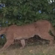 A mountain lion was successfully tranquilized after it was spotted in a residential neighborhood in Folsom.