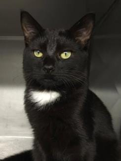 Ricky Bobby is a shy but sweet tuxedo kitten who loves to cuddle.