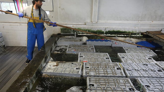 Max Carpman, of Home Harbor Seafood, uses a pole to grab a crate of lobsters in his lobster pool. The ribbons on the crates indicate the grade of the lobsters. He can hold about 10, 000 pounds of lobsters in the pool.