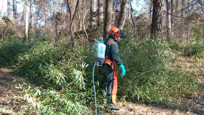 Control and removal of bamboo at Yorktown and Jamestown has resulted in eight acres, so far.