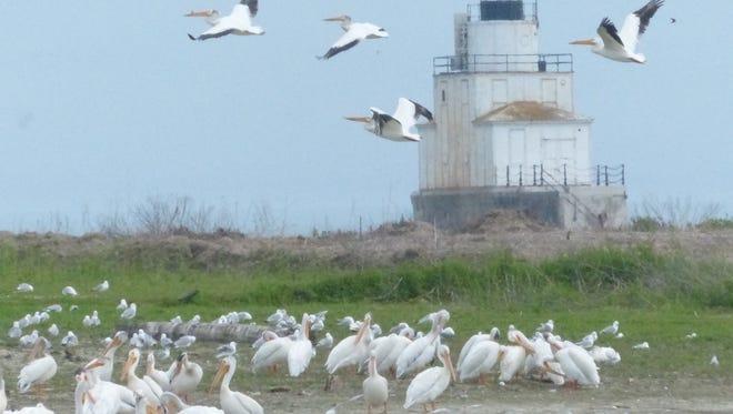 Pelicans gather near Lake Michigan in Manitowoc.