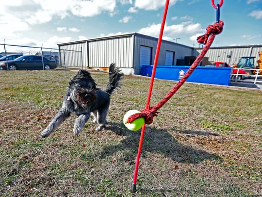 Josie plays with a Tether Tug toy, which her owner