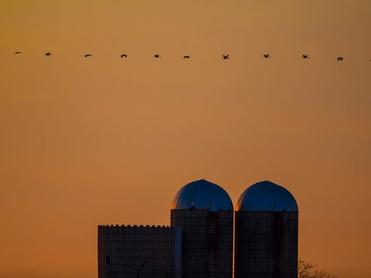 A line of Sandhill cranes fly past grain silos on a