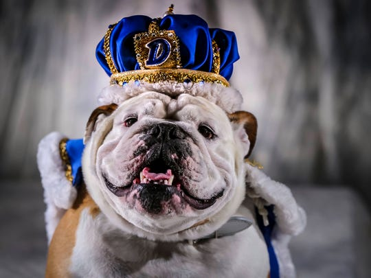 38th annual Beautiful Bulldog Contest, 2017 winner Prudence, 3 1/2 years old, owned by Tom and Angela Miller of Beaverdale on display Tuesday, March 20, 2018, at the Knapp Center during the lottery for selecting the 40 entrants in the 2018 Drake Relays Beautiful Bulldog Contest Tuesday, March 20, 2018, in Des Moines, Iowa.  More than 135 English bulldogs from 18 states registered to compete in DrakeÕs world-famous Beautiful Bulldog Contest.