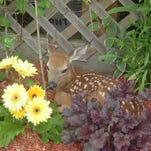 A fawn visits a garden in Andover.