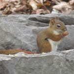 Marcy Schwartz submitted this photo taken recently in her Town of Poughkeepsie backyard of a red squirrel. Have a nature photo to share? Send it to dradwin@poughkeepsiejournal.com with your name, hometown and where the photo was taken.