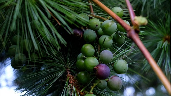 Grapes From A Pine Tree