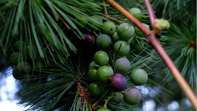 Grapes grow among the needles of a pine tree after the vine it grows from weaved its way from a neighboring arbor and into the branches of the tree.