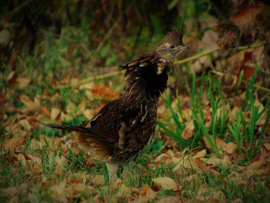 A Ruffed Grouse, our state bird, displaying his namesake