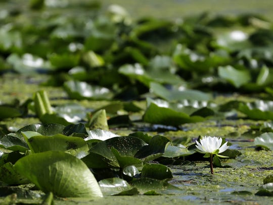 A water lily blooms near algae near the Menasha lock