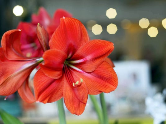 Amaryllis bloom at Foster's Flower Shop. Owner Marcy Almoney said that unlike Valentine's Day and Christmas, her customers want a wide assortment of flowers for Mother's Day giving.