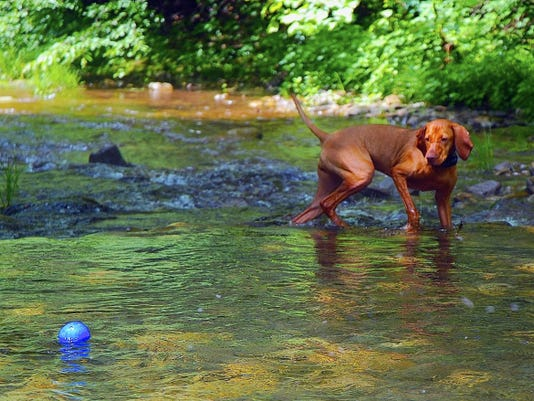 Keeping hunting dogs cool during summer training sessions is essential, even if it means moving retrieval practice to the water, as with this young Vizsla named Hazel.