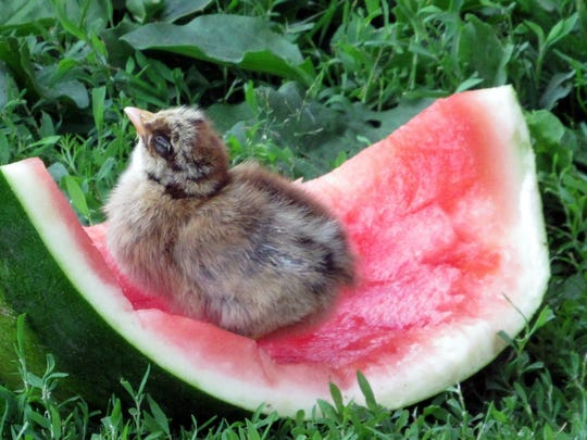 This chick claims a prime spot to enjoy some watermelon.