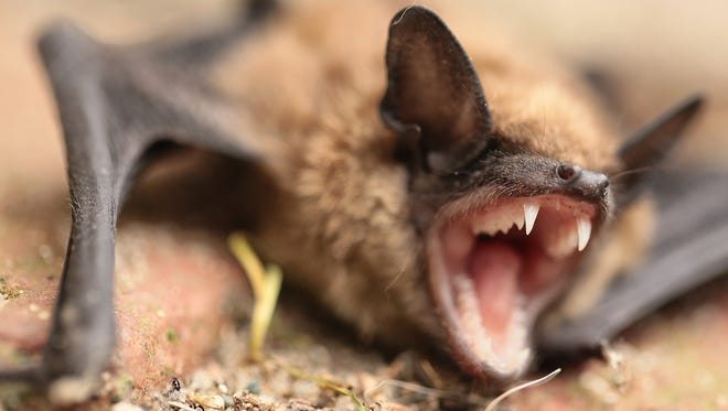 Most bats don't have rabies, but if you have been bitten by a bat or even think you might have been, health officials urge getting it checked out.