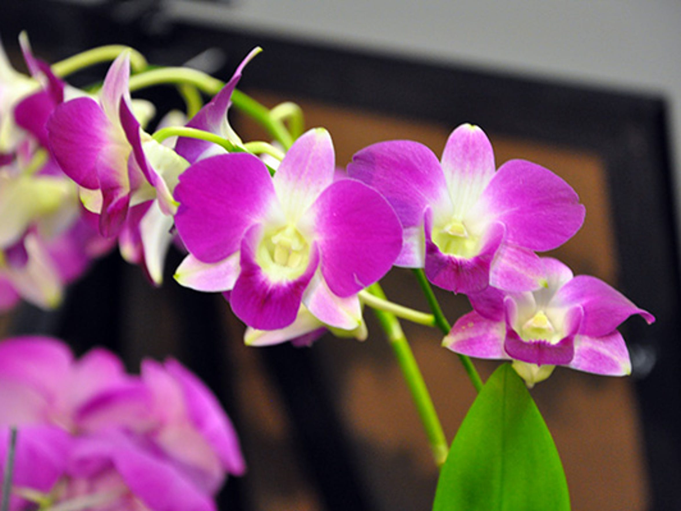 Plant featured at one of the Shreveport Orchid Society's