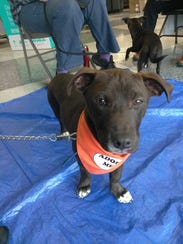 Jackson is a 5-month-old, male Labrador mix. He's very