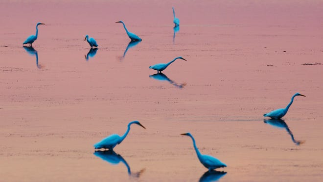 Great egrets hunt in Pine Island Sound on Monday 11/15/2016.  The Florida Fish and Wildlife Conservation Commission voted unanimously Wednesday to add several islands in Pine Island Sound and Estero Bay to the state's list of Critical Wildlife Areas, or CWAs.