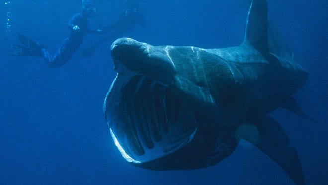 The sight of basking sharks can be quite disturbing, and they are so large that many people mistake them for Great Whites.  They can reach 40 feet and although they are not dangerous to humans as a predator their sheer mass can be a problem especially if you are snorkeling or diving in their vicinity.  Basking shark photo by Chris Gotschalk.