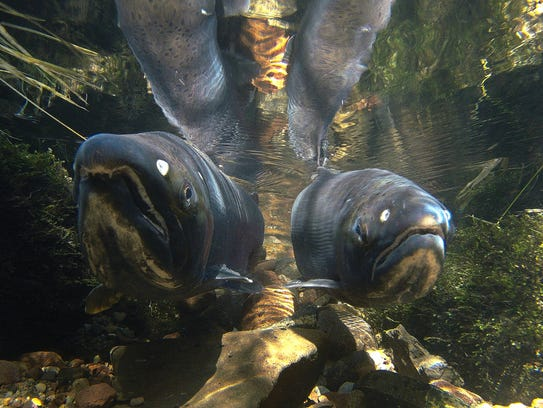 A pair of coho salmon swim over spawning habitat placed