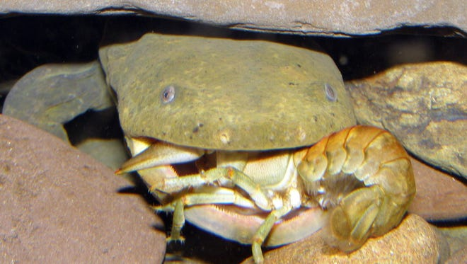 This guy may be our official state amphibian. Here he is eating a crayfish. Yum.