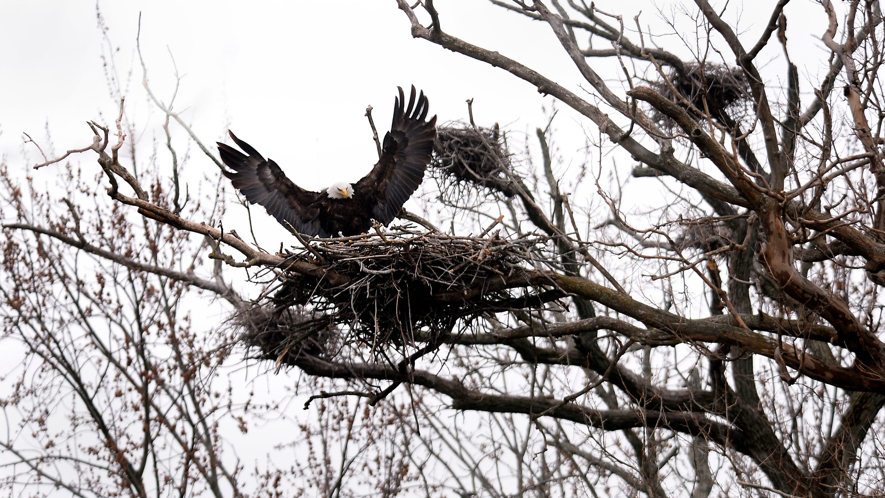 nesting eagles draw crowds along the river trail