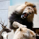Two lions posed as if they are fighting each other are a highlight at the World Taxidermy & Fish Carving Championships at the Springfield Expo Center on Wednesday, May 6, 2015.