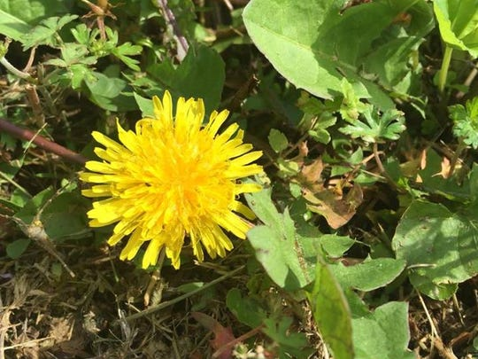 621265ba2 Though long considered a pesky weed, dandelions are