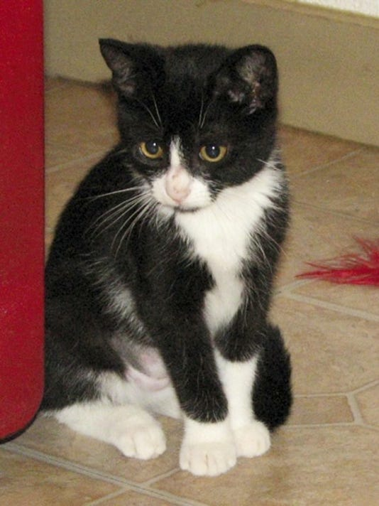 Oluchi is a shy but sweet black and white SPCA female kitten. Her online ID is AFS 102103 Corallo kitty. Submitted